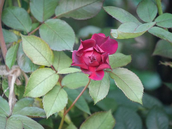 ライラ(Laylah)の2番花が咲いた。半ツルバラ。2021年-029.jpg