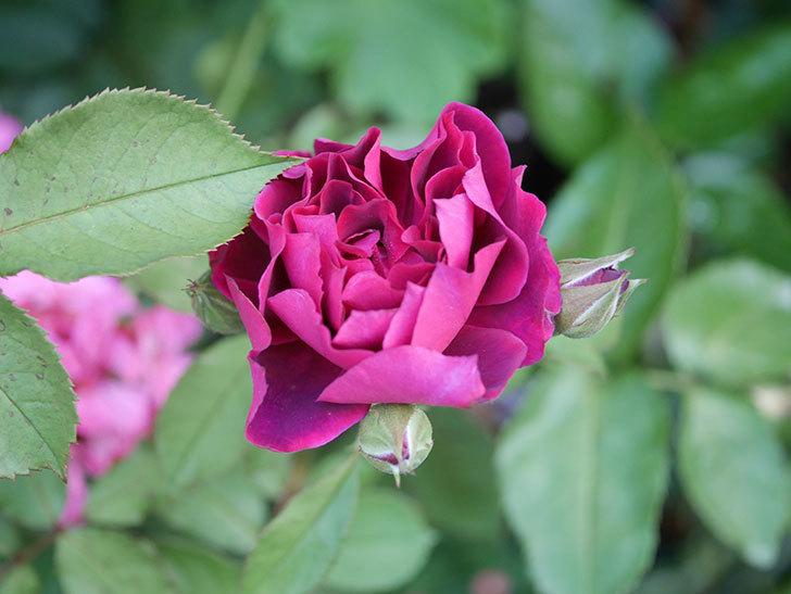 ライラ(Laylah)の2番花が増えてきた。半ツルバラ。2020年-001.jpg