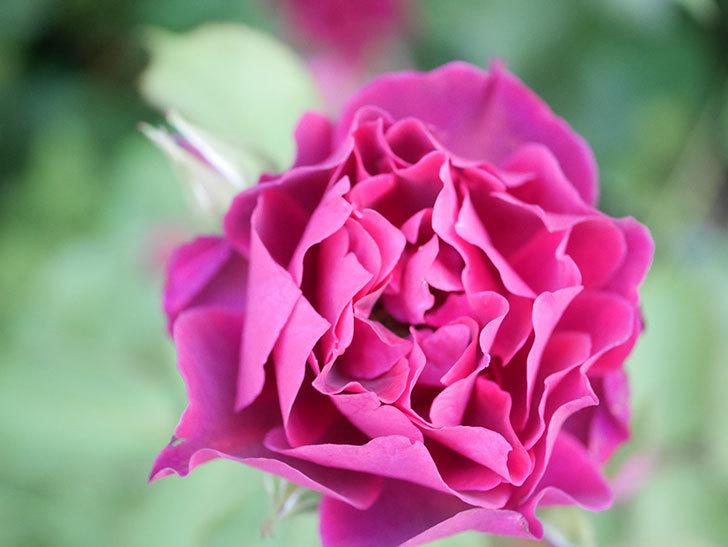 ライラ(Laylah)の2番花が増えてきた。半ツルバラ。2020年-003.jpg