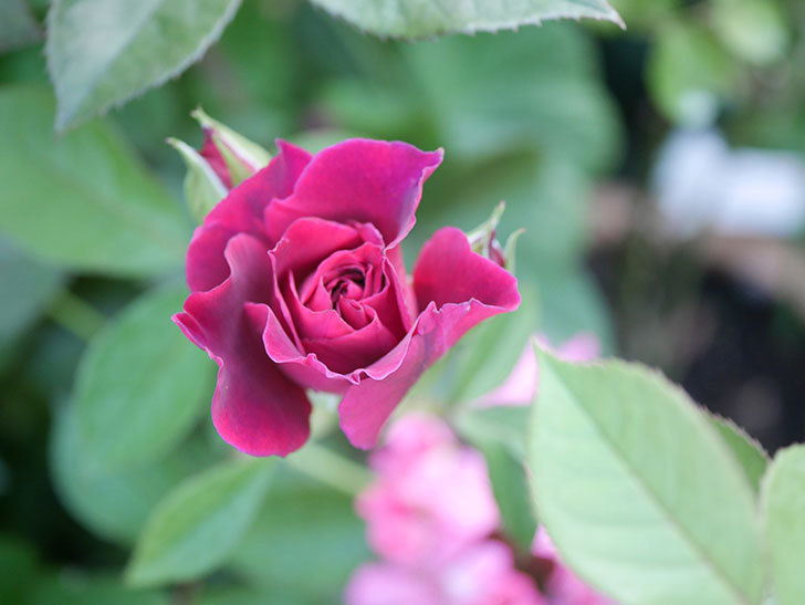ライラ(Laylah)の2番花が増えてきた。半ツルバラ。2020年-004.jpg
