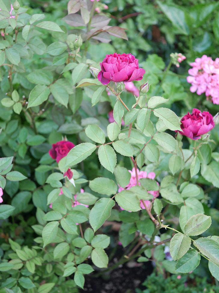 ライラ(Laylah)の2番花が増えてきた。半ツルバラ。2020年-006.jpg