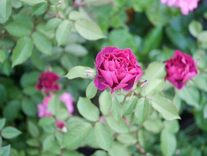 ライラ(Laylah)の2番花が増えてきた。半ツルバラ。2020年-007.jpg