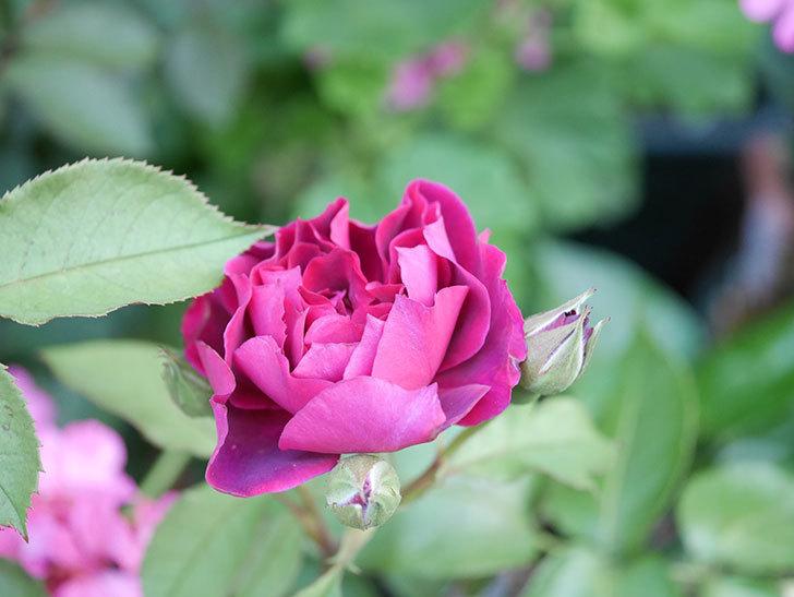 ライラ(Laylah)の2番花が増えてきた。半ツルバラ。2020年-008.jpg