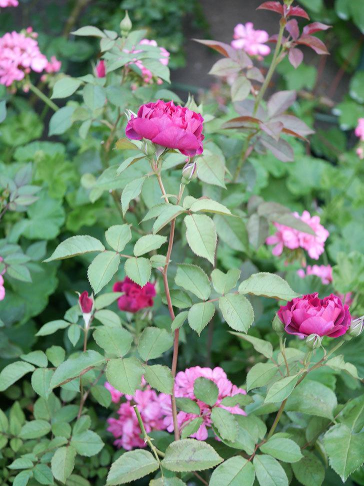 ライラ(Laylah)の2番花が増えてきた。半ツルバラ。2020年-009.jpg