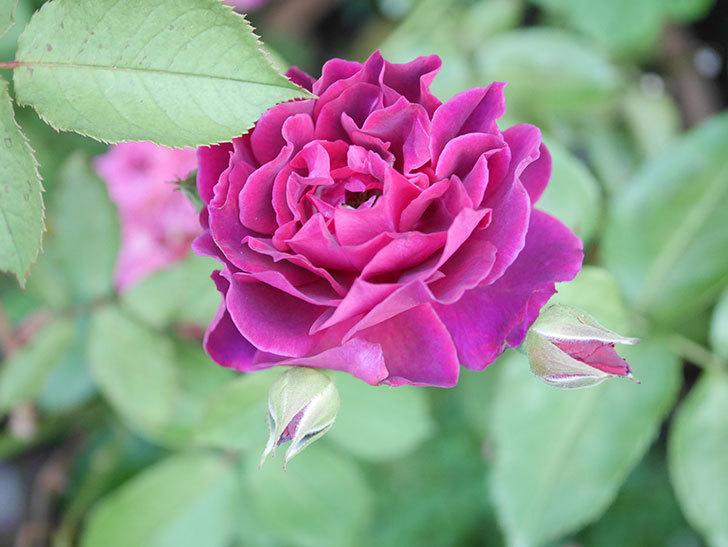 ライラ(Laylah)の2番花が増えてきた。半ツルバラ。2020年-010.jpg