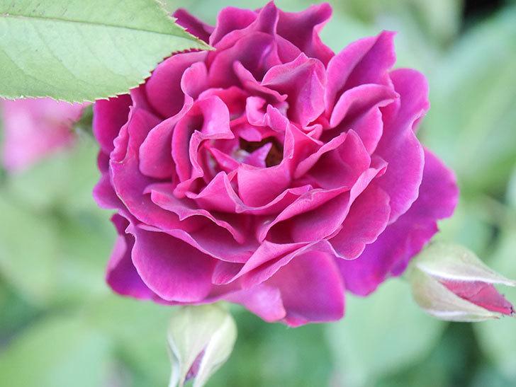 ライラ(Laylah)の2番花が増えてきた。半ツルバラ。2020年-011.jpg