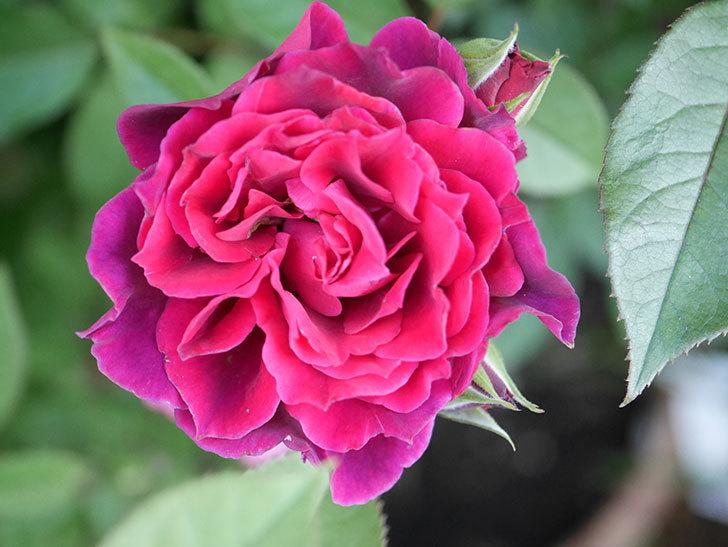 ライラ(Laylah)の2番花が増えてきた。半ツルバラ。2020年-012.jpg
