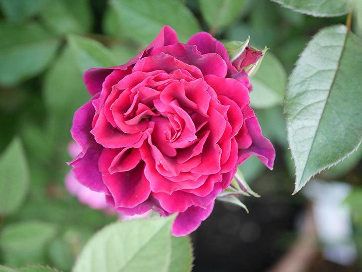 ライラ(Laylah)の2番花が増えてきた。半ツルバラ。2020年-013.jpg