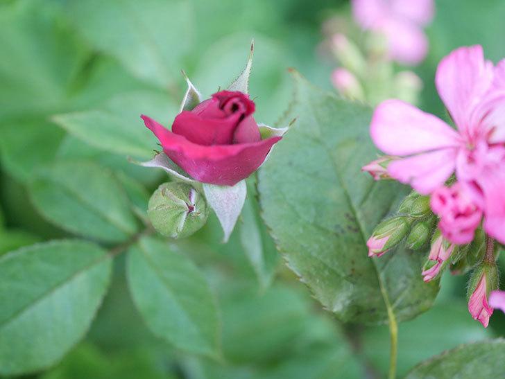 ライラ(Laylah)の2番花が増えてきた。半ツルバラ。2020年-016.jpg