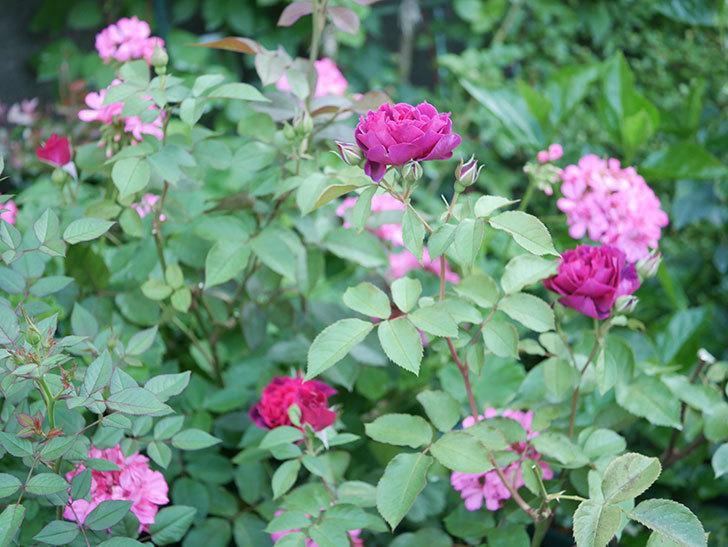 ライラ(Laylah)の2番花が増えてきた。半ツルバラ。2020年-017.jpg