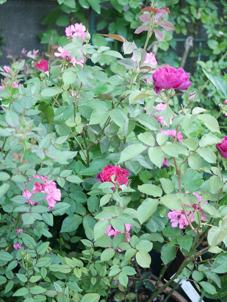 ライラ(Laylah)の2番花が増えてきた。半ツルバラ。2020年-018.jpg