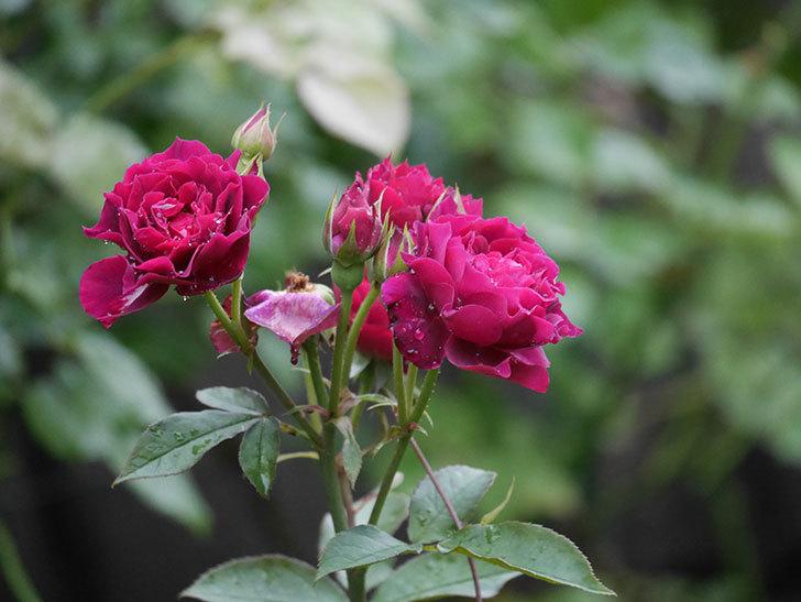 ライラ(Laylah)の2番花が房で咲いた。半ツルバラ。2020年-001.jpg