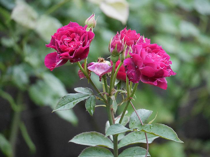 ライラ(Laylah)の2番花が房で咲いた。半ツルバラ。2020年-002.jpg