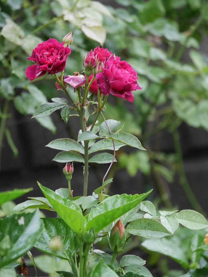 ライラ(Laylah)の2番花が房で咲いた。半ツルバラ。2020年-003.jpg