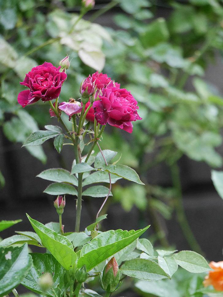 ライラ(Laylah)の2番花が房で咲いた。半ツルバラ。2020年-004.jpg