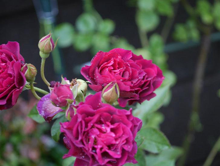 ライラ(Laylah)の2番花が房で咲いた。半ツルバラ。2020年-006.jpg
