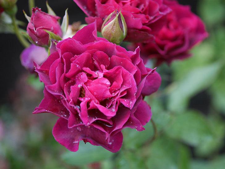 ライラ(Laylah)の2番花が房で咲いた。半ツルバラ。2020年-007.jpg