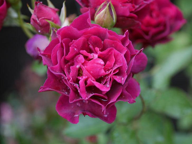 ライラ(Laylah)の2番花が房で咲いた。半ツルバラ。2020年-008.jpg