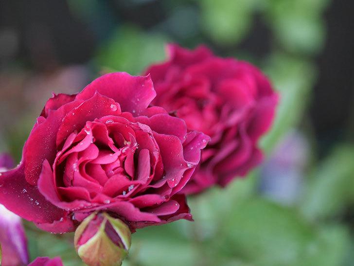 ライラ(Laylah)の2番花が房で咲いた。半ツルバラ。2020年-009.jpg