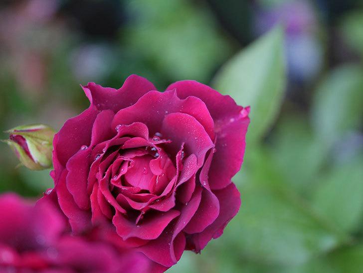ライラ(Laylah)の2番花が房で咲いた。半ツルバラ。2020年-010.jpg