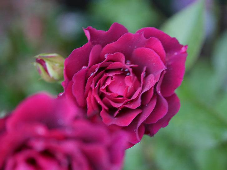 ライラ(Laylah)の2番花が房で咲いた。半ツルバラ。2020年-011.jpg