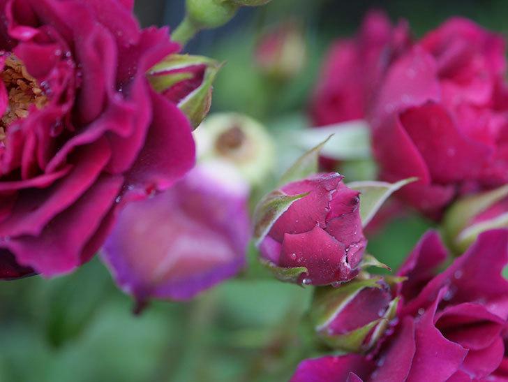 ライラ(Laylah)の2番花が房で咲いた。半ツルバラ。2020年-012.jpg