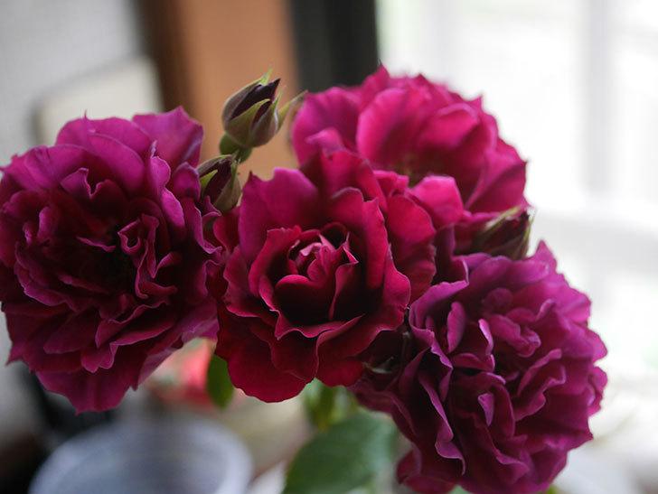 ライラ(Laylah)の2番花が房で咲いた。半ツルバラ。2020年-013.jpg