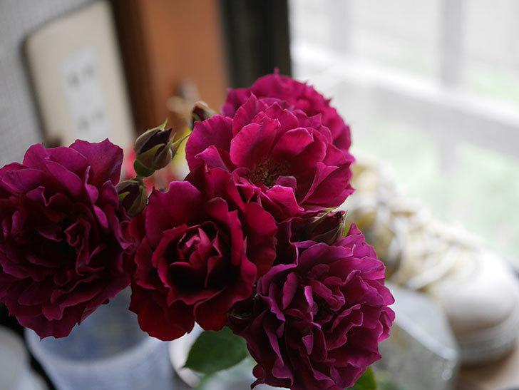 ライラ(Laylah)の2番花が房で咲いた。半ツルバラ。2020年-014.jpg