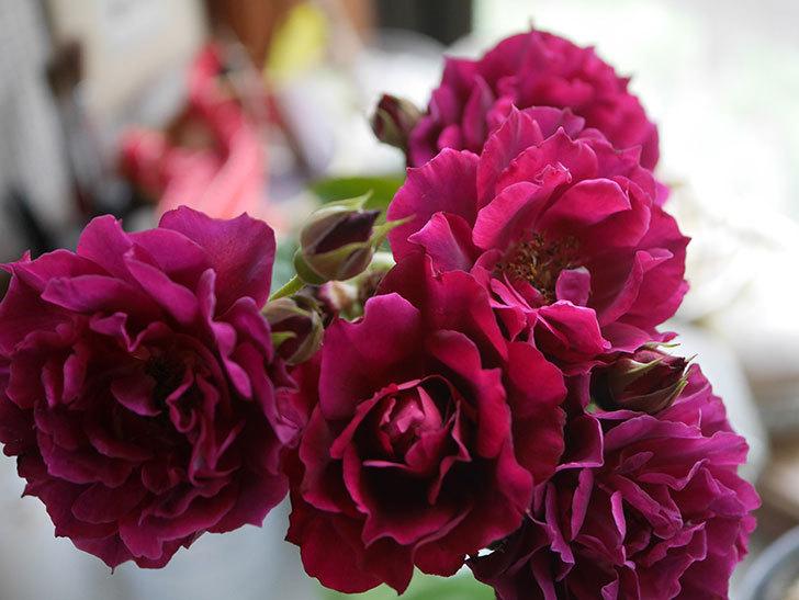 ライラ(Laylah)の2番花が房で咲いた。半ツルバラ。2020年-015.jpg
