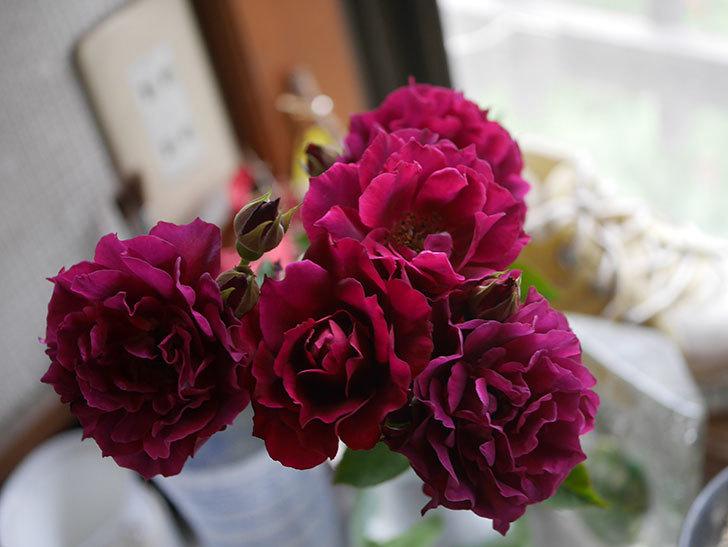 ライラ(Laylah)の2番花が房で咲いた。半ツルバラ。2020年-016.jpg