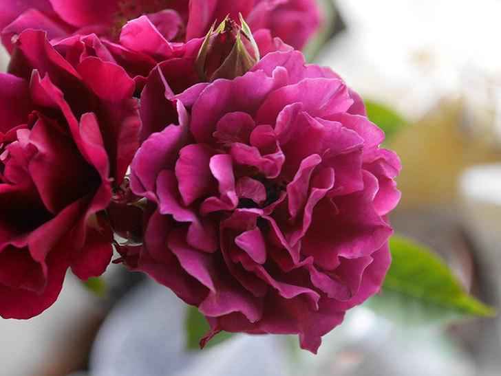 ライラ(Laylah)の2番花が房で咲いた。半ツルバラ。2020年-017.jpg
