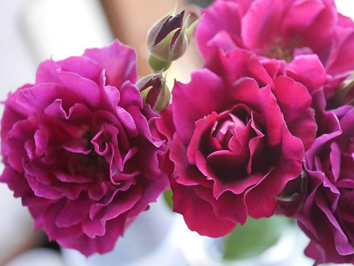 ライラ(Laylah)の2番花が房で咲いた。半ツルバラ。2020年-018.jpg