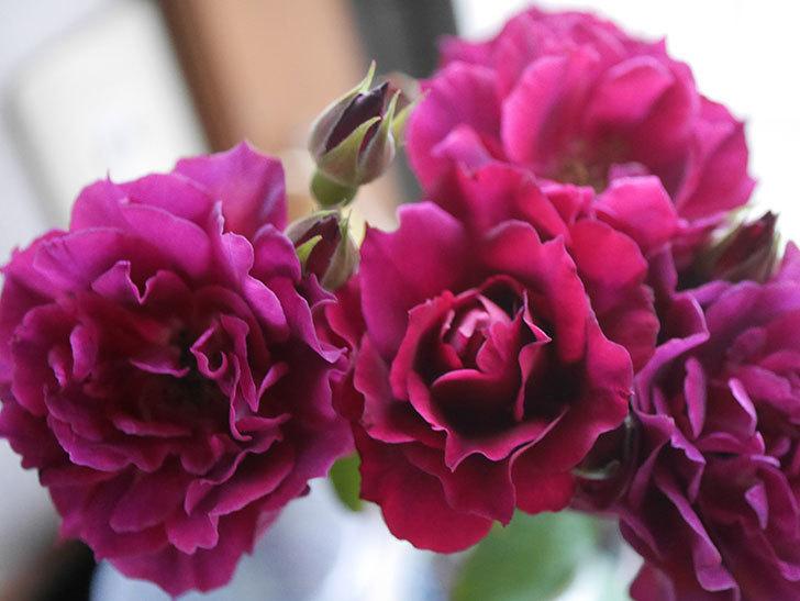 ライラ(Laylah)の2番花が房で咲いた。半ツルバラ。2020年-019.jpg