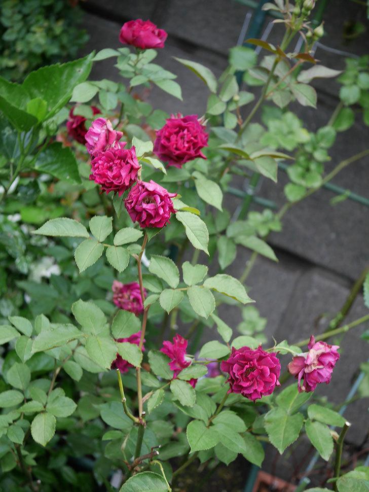 ライラ(Laylah)の2番花が良い感じになった。半ツルバラ。2020年-001.jpg