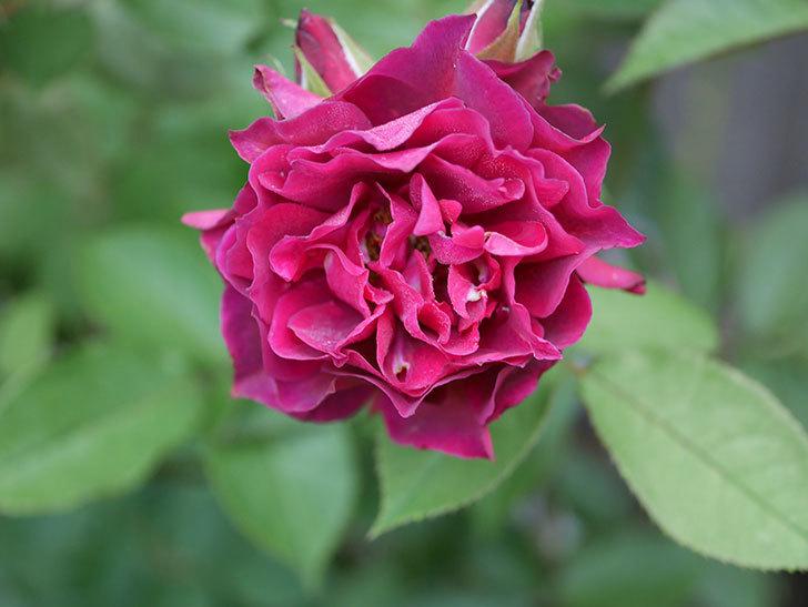 ライラ(Laylah)の2番花が良い感じになった。半ツルバラ。2020年-002.jpg