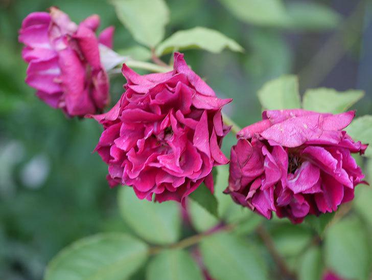 ライラ(Laylah)の2番花が良い感じになった。半ツルバラ。2020年-005.jpg
