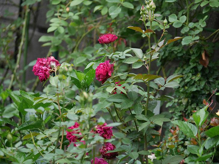 ライラ(Laylah)の2番花が良い感じになった。半ツルバラ。2020年-006.jpg
