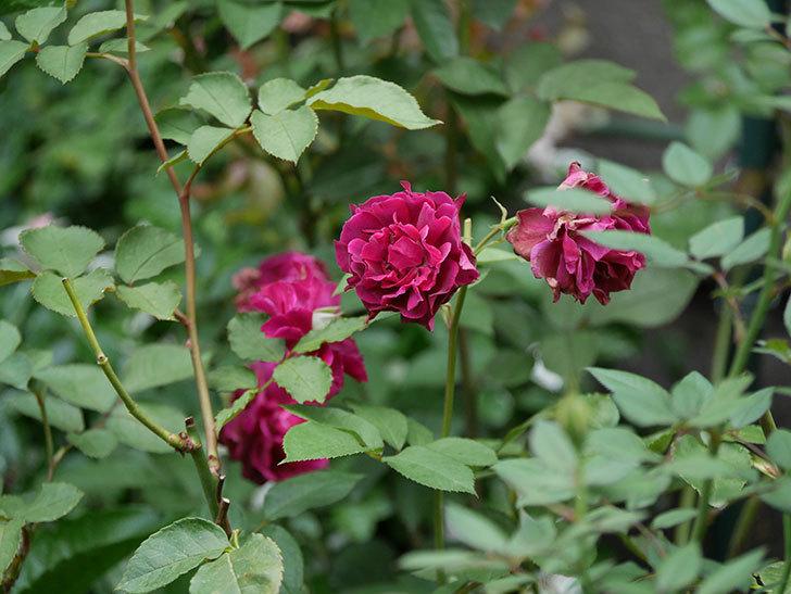 ライラ(Laylah)の2番花が良い感じになった。半ツルバラ。2020年-008.jpg