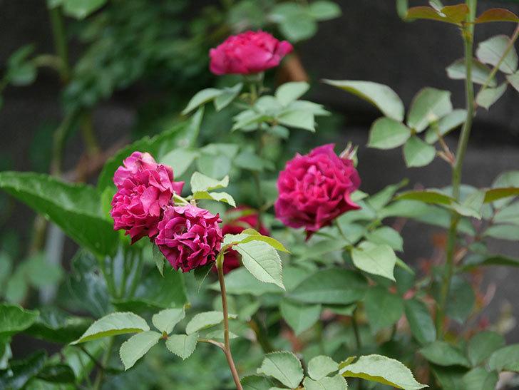 ライラ(Laylah)の2番花が良い感じになった。半ツルバラ。2020年-009.jpg