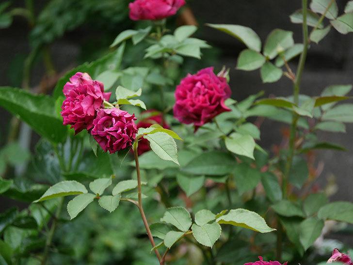 ライラ(Laylah)の2番花が良い感じになった。半ツルバラ。2020年-010.jpg