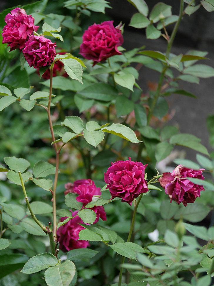 ライラ(Laylah)の2番花が良い感じになった。半ツルバラ。2020年-011.jpg