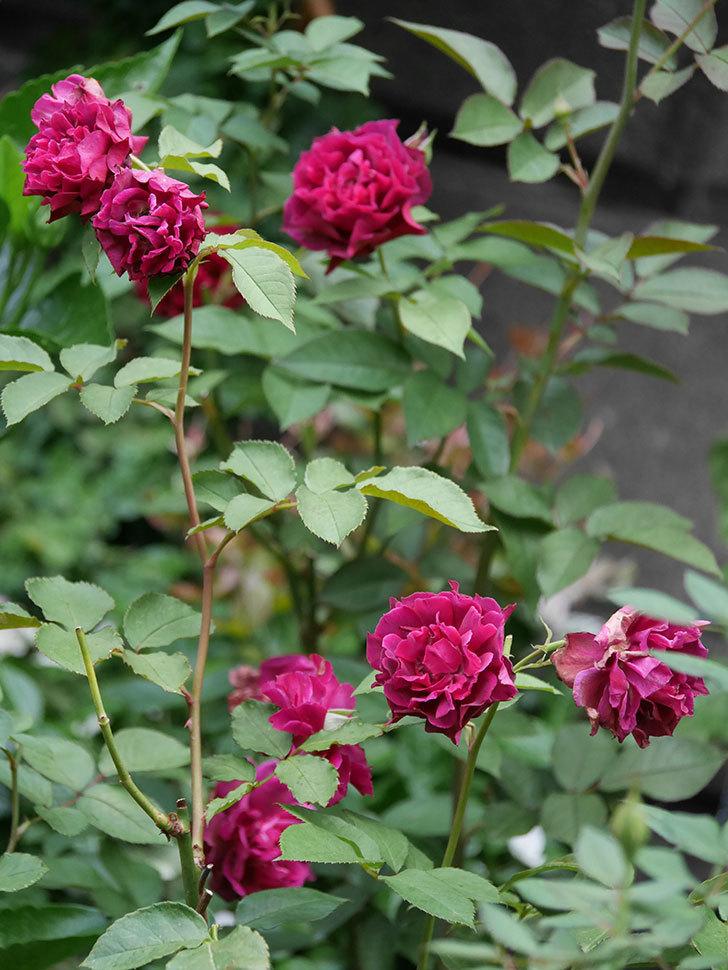 ライラ(Laylah)の2番花が良い感じになった。半ツルバラ。2020年-012.jpg