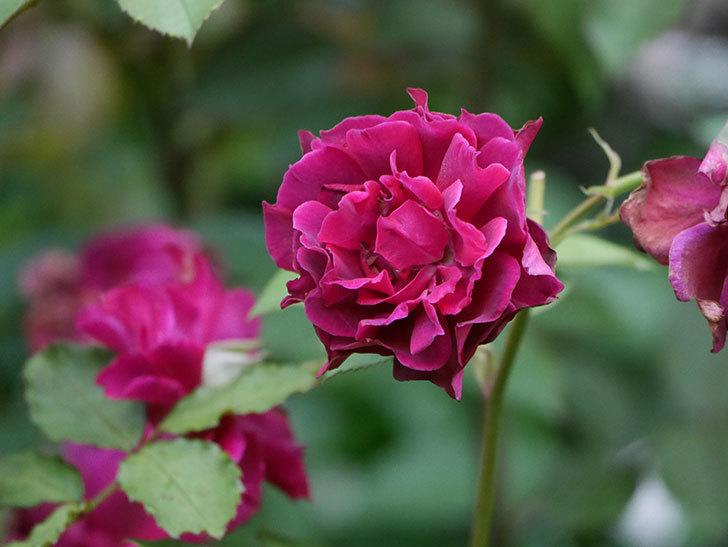 ライラ(Laylah)の2番花が良い感じになった。半ツルバラ。2020年-013.jpg