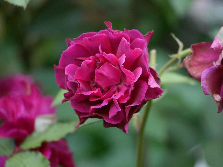 ライラ(Laylah)の2番花が良い感じになった。半ツルバラ。2020年-014.jpg