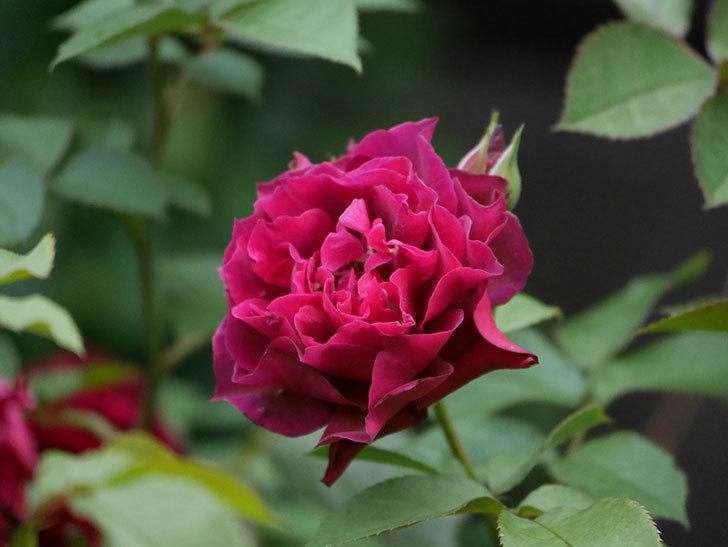 ライラ(Laylah)の2番花が良い感じになった。半ツルバラ。2020年-016.jpg