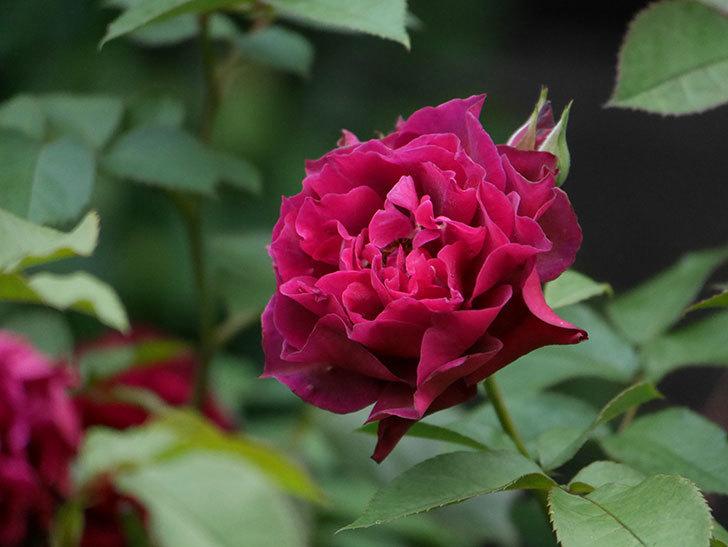 ライラ(Laylah)の2番花が良い感じになった。半ツルバラ。2020年-017.jpg