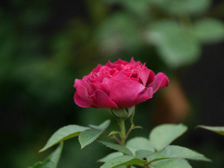 ライラ(Laylah)の2番花が良い感じになった。半ツルバラ。2020年-018.jpg