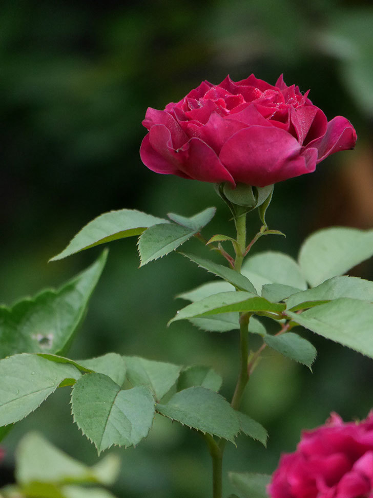 ライラ(Laylah)の2番花が良い感じになった。半ツルバラ。2020年-019.jpg