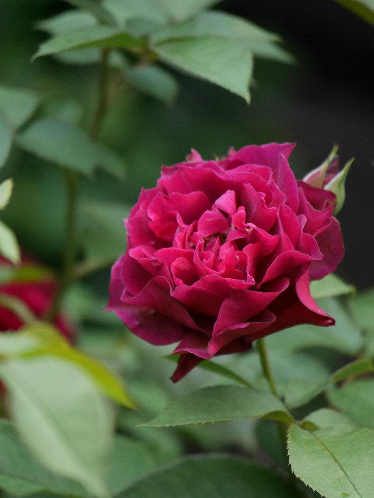 ライラ(Laylah)の2番花が良い感じになった。半ツルバラ。2020年-021.jpg