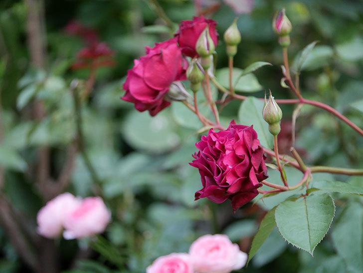 ライラ(Laylah)の残っていた花が咲いた。半ツルバラ。2020年-019.jpg